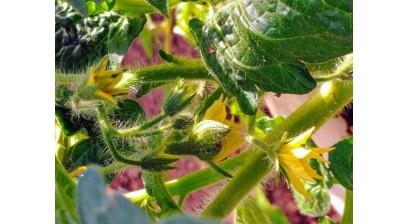 Dwarf pomidorų veislių auginimas ir priežiūra