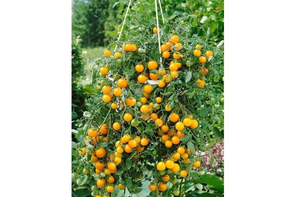 Tomato Tumbling Tom Yellow